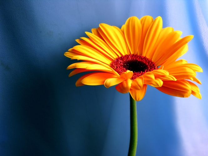 orange-gerbera-daisy_1920x1440_15551